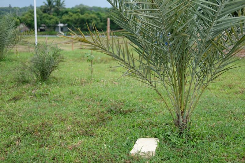 Date palm growing in farm. fruit tree plantation royalty free stock images