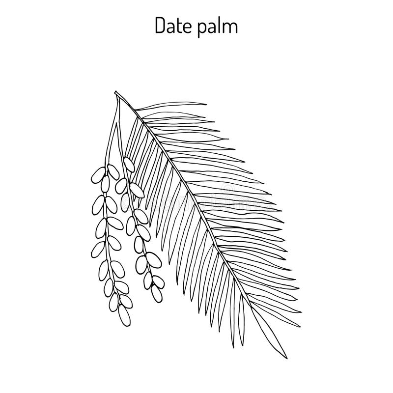 Date palm Phoenix dactylifera stock illustration