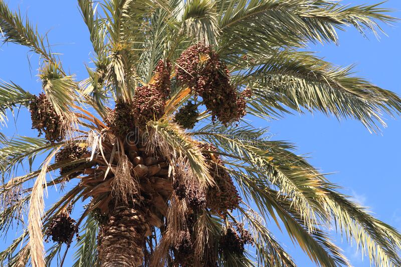 Date palm Phoenix dactylifera with lots of great ripe and unripe dates fruits clumps and many green leaves. A lot of bunch of royalty free stock photo