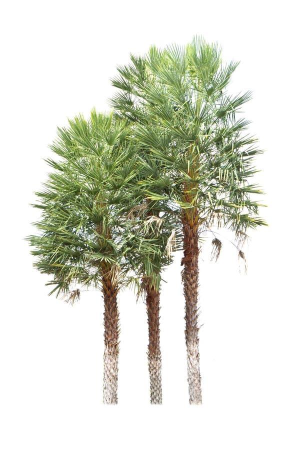 Thai date palm