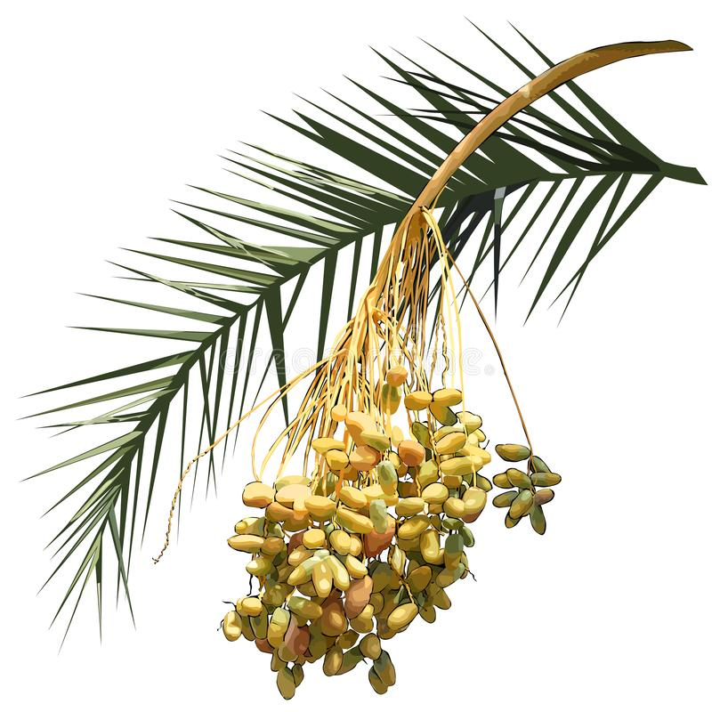 Date palm Phoenix L. - leaf and fruit branch with fruits stock images