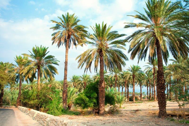Date palm plantation stock images
