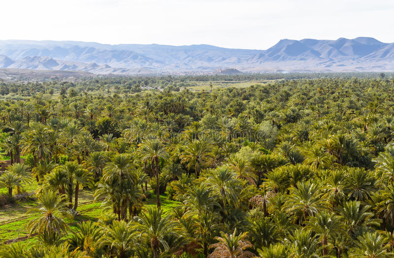 Date palm plantations in Morocco. Date palms plantations in Morocco, Draa valley, Atlas Mountains stock images