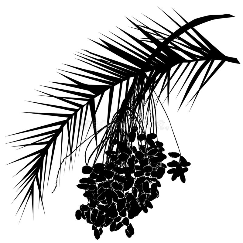 The date palm silhouette Phoenix L. is a leaf and fruit branch with fruits stock images