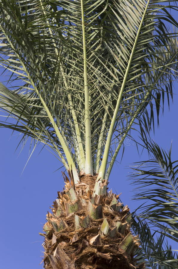 Date palm on the sky. Background stock photography