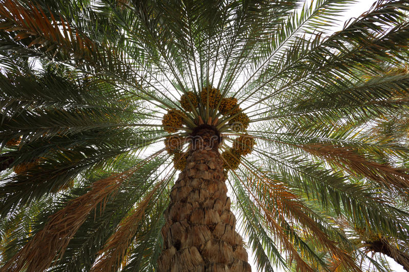 Date Palm Tree. In Al Ain Oasis, Abu Dhabi stock photo