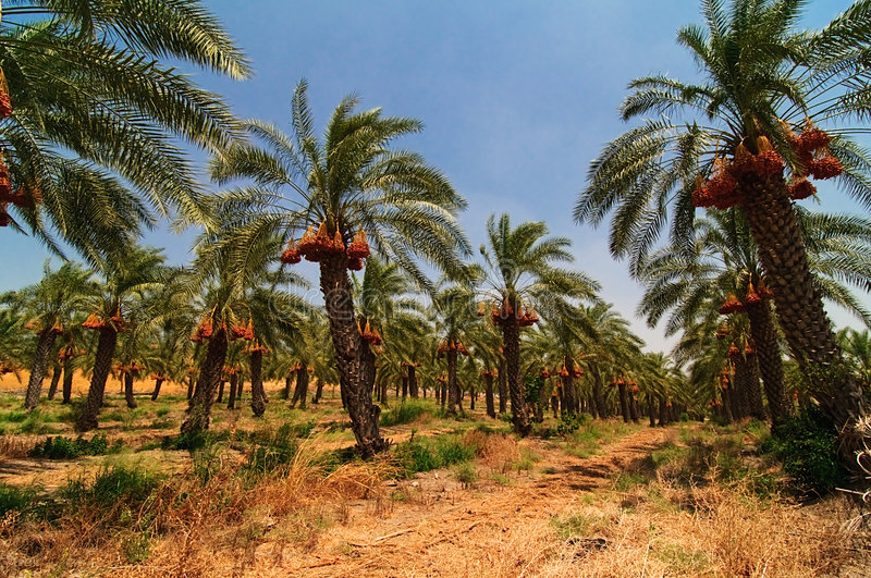 Date palm tree farm royalty free stock images