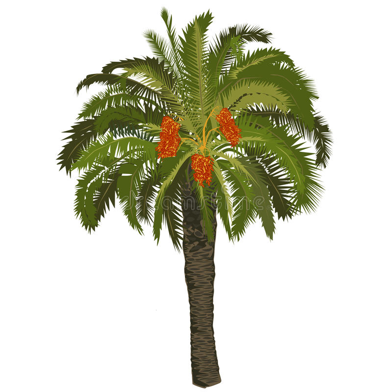 Date palm tree with fruits royalty free stock images