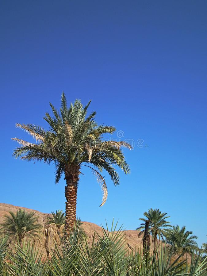 Date Palm tree in portrait frame royalty free stock photos