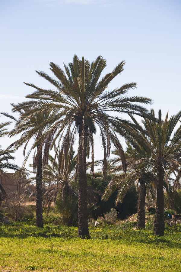 Date Palm Trees Royalty Free Stock Photo
