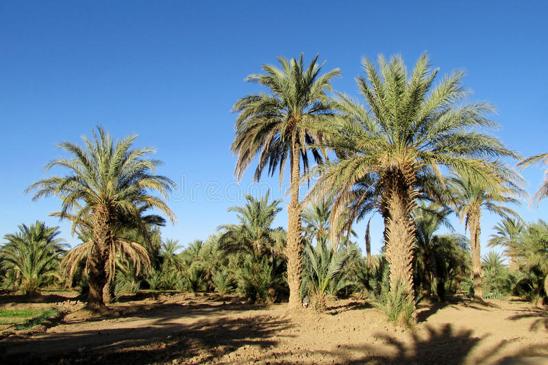 Date palm trees agriculture royalty free stock photo