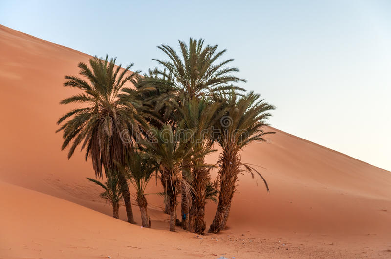 Date palm trees in the desert royalty free stock image
