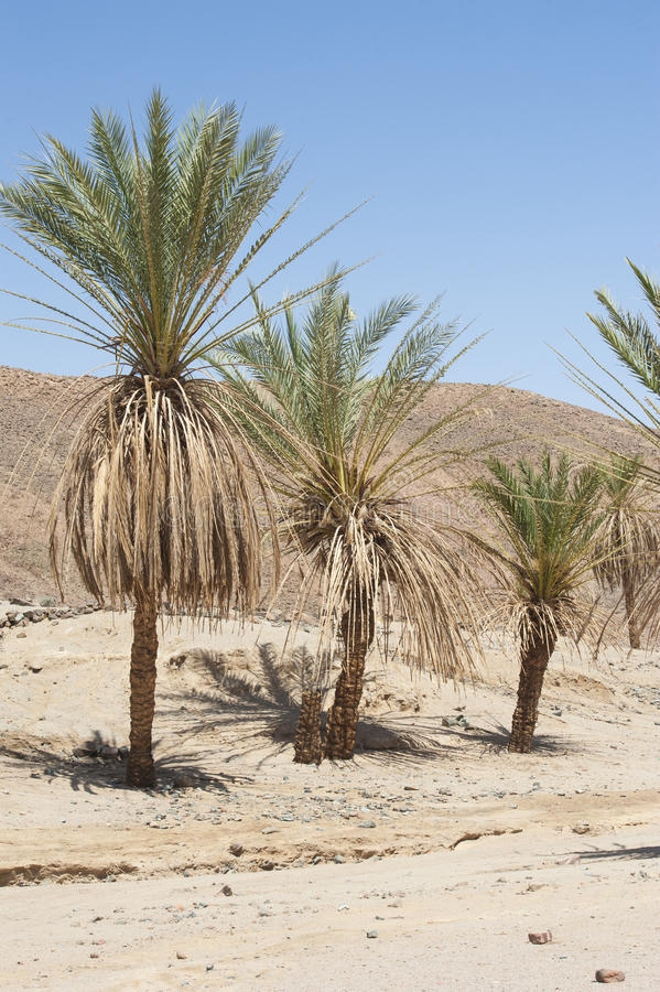 Download Date Palm Trees In A Desert Valley Stock Image - Image of nature, tree: 39502433