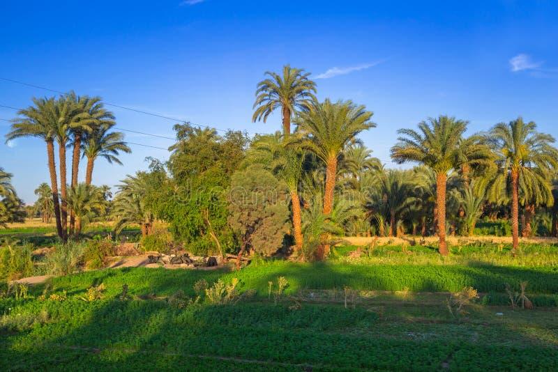 Date palm trees plantation royalty free stock photos