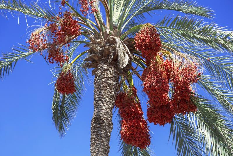 Date a palmeira com datas no fundo do céu azul imagem de stock