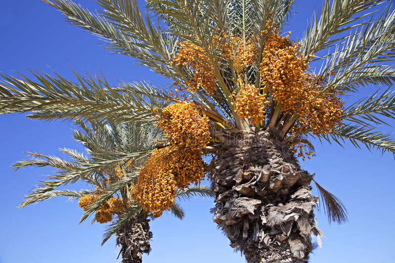 Download Date palms stock image. Image of nature, sunlight, leaf - 21826207