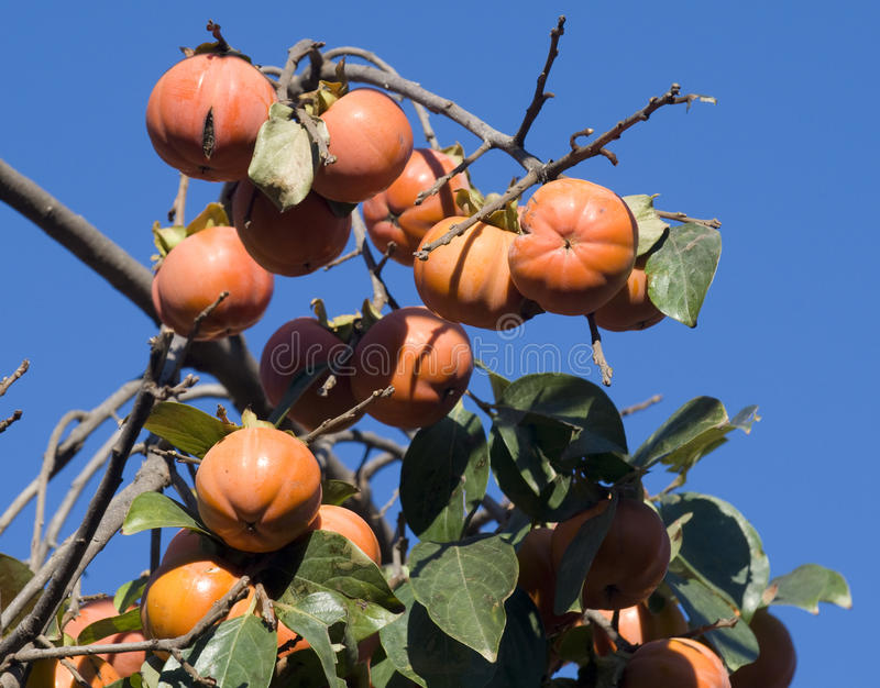 Download Date Plum Or Persimmon Royalty Free Stock Image - Image: 26590696