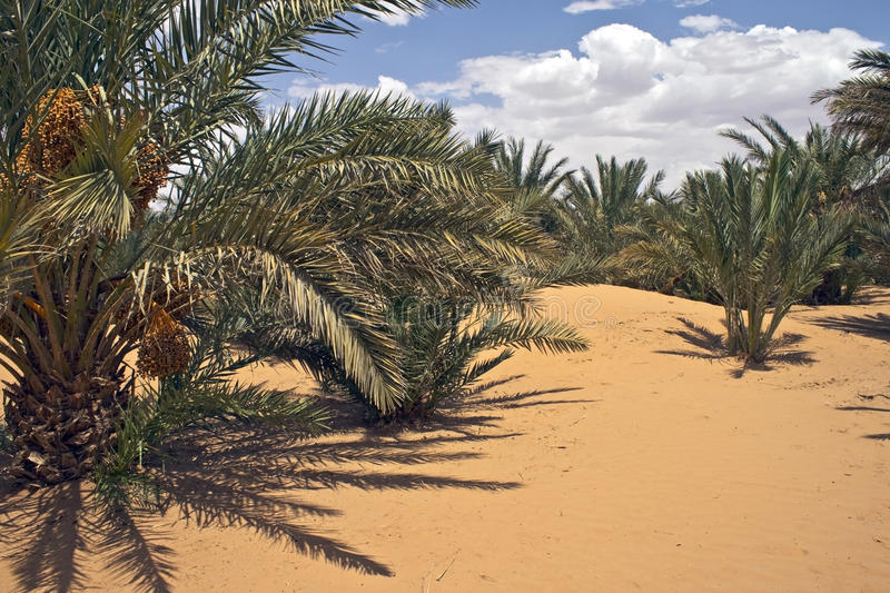 Download Date tree stock photo. Image of summer, saharan, cloud - 16252334