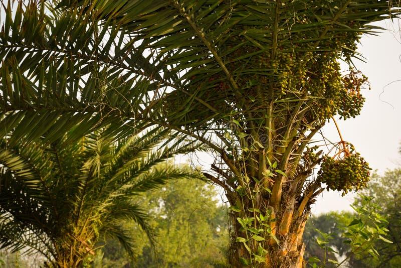Daten an der Dattelpalmebaumnahaufnahme am Morgensonnenlicht stockfotografie
