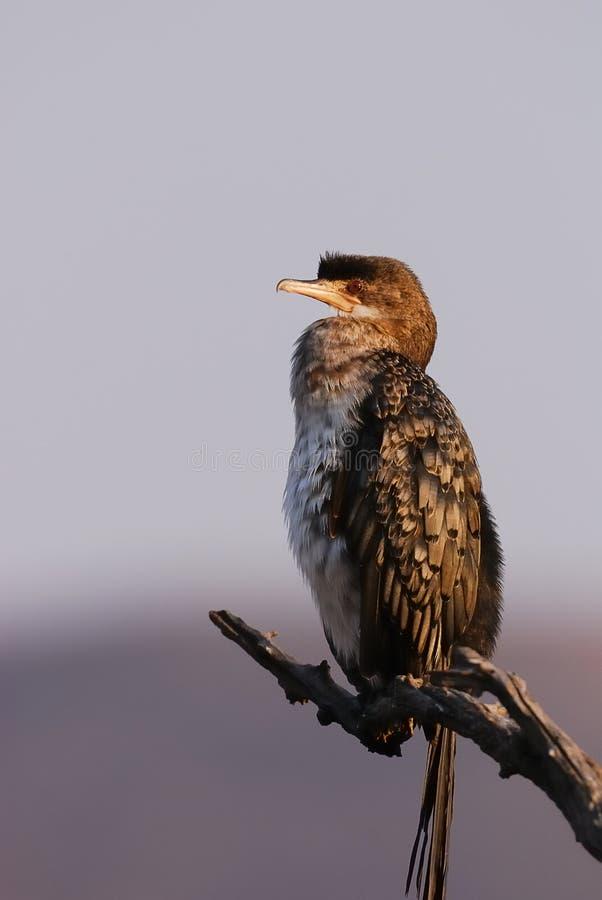 Download Dater стоковое изображение. изображение насчитывающей cormorant - 17624335