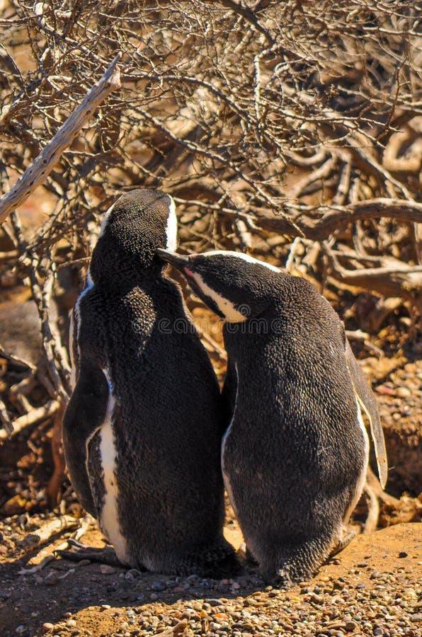 Dater de deux pingouins de Magellanic photos libres de droits
