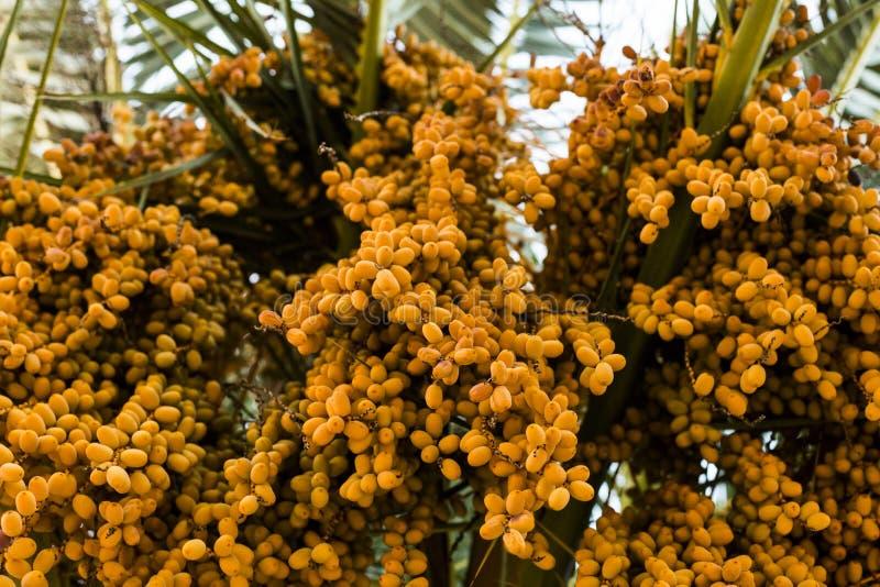 Dates de palmier de couleur ambre Fin vers le haut natu texturisé abstrait image stock