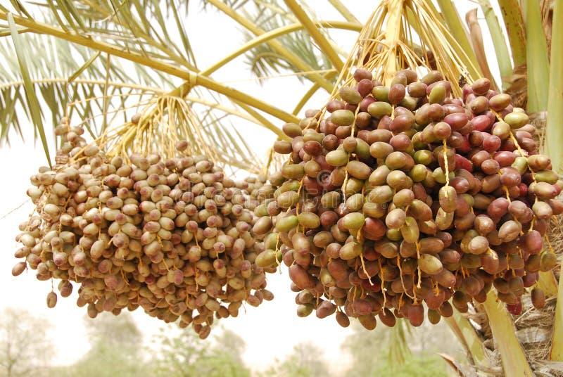 Download Dates fruit stock image. Image of dates, palm, sharjah - 5459877