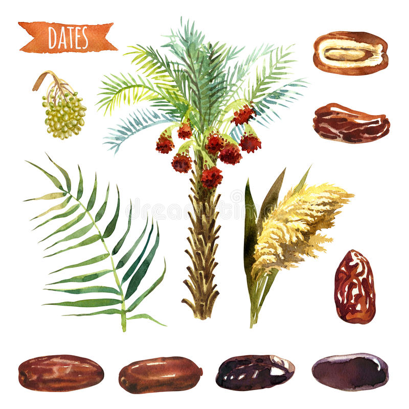 Dates, hand-painted watercolor set. Clipping paths included vector illustration