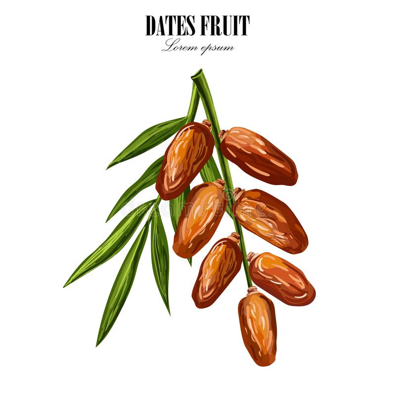 Dates with palm leaves on white background. Vector illustration. Dates with with palm leaves and nucleuses on white background. Hand drawn Vector illustration royalty free illustration