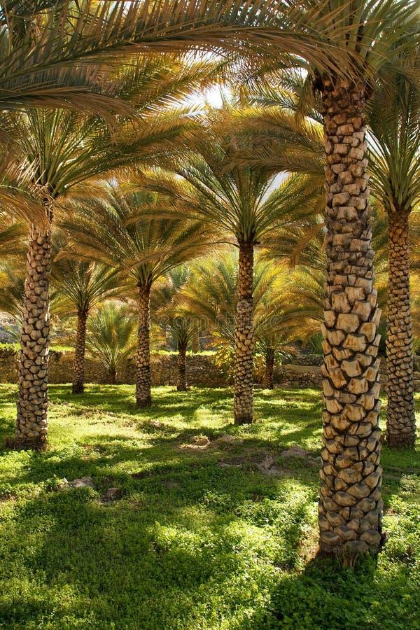 Download Dates Palms stock photo. Image of salim, datespalms, alwardi - 20010340