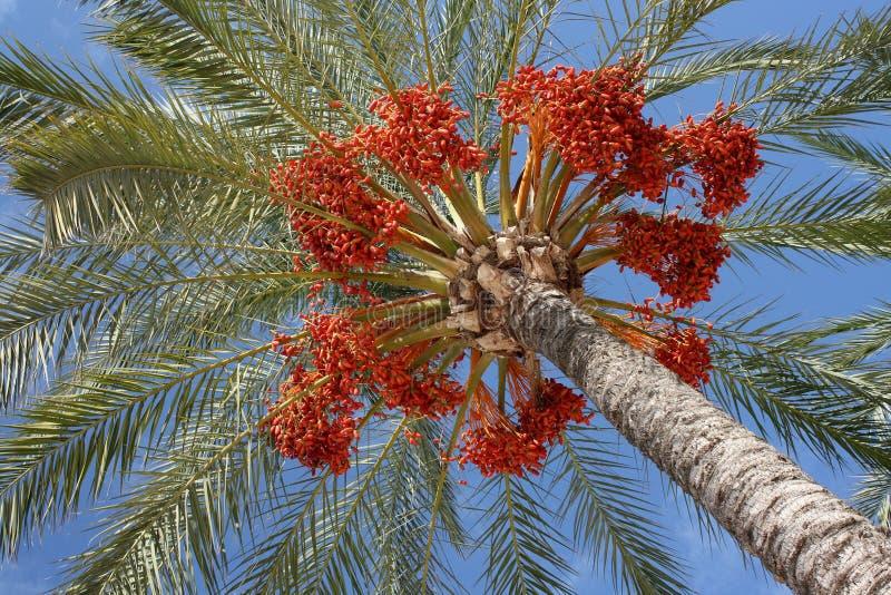Dates sur le palmier photos stock