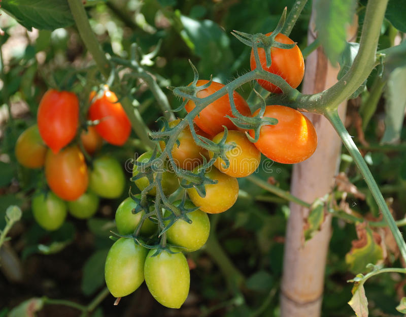 Dattel-Tomaten, die auf Rebe reifen lizenzfreie stockfotos