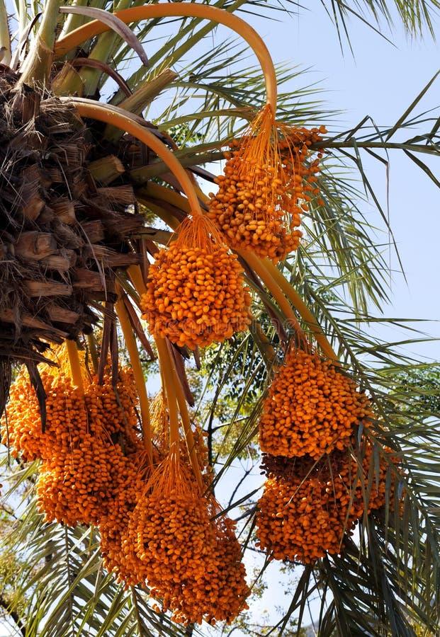 Dattelpalme mit Bündeln der reifenden Frucht stockfoto