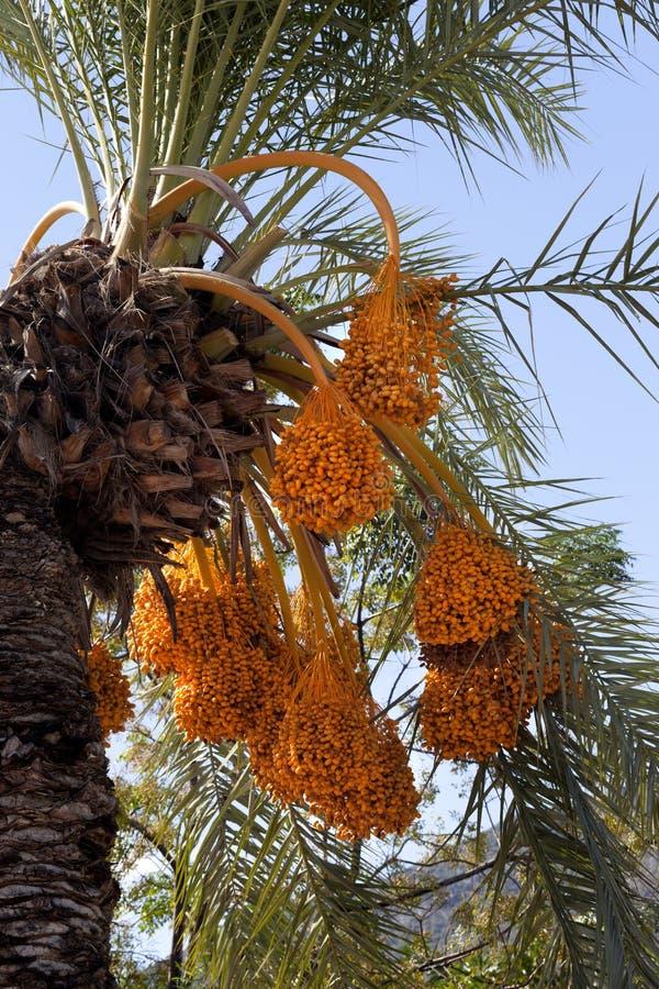 Dattelpalme mit Bündeln der reifenden Frucht lizenzfreie stockfotografie