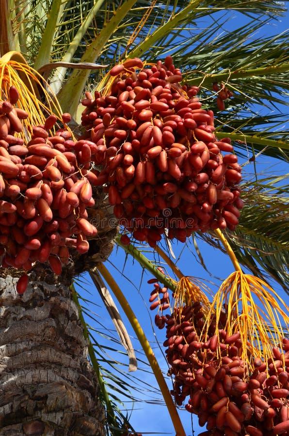 Dattelpalmebaum mit Daten stockbild
