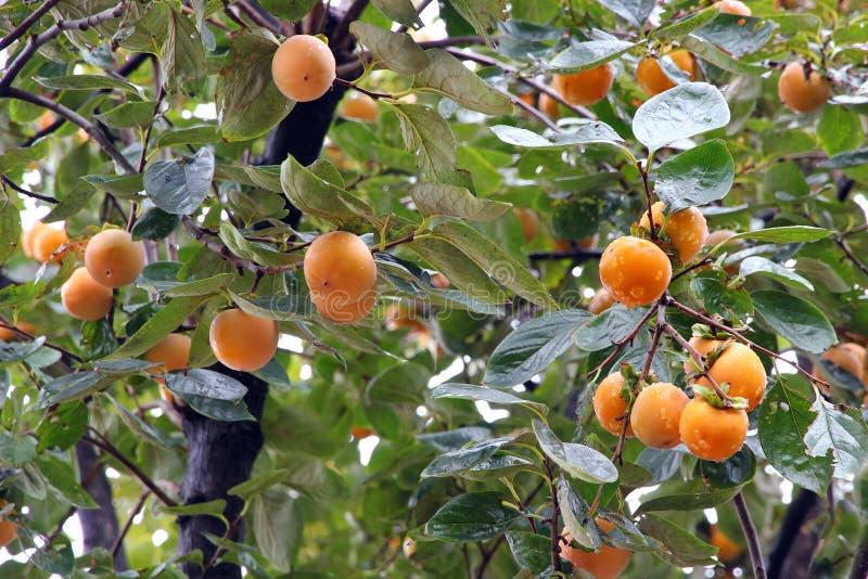 Dattelpflaumebaum (Kakipflaumenbaum) stockbilder