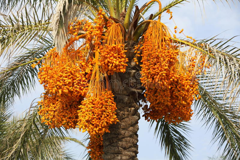 palmier a dattes