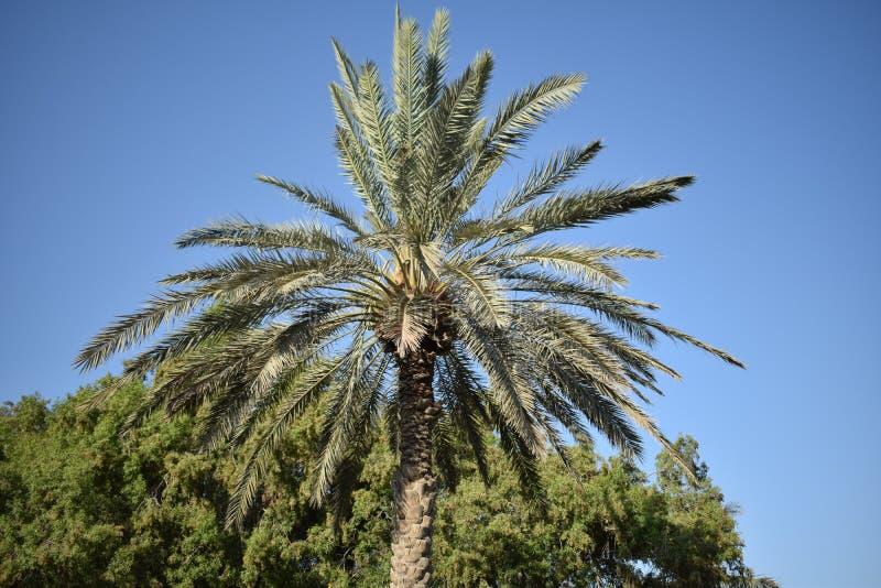 Datuje drzewa w UAE przyglądającym pięknie folującym obrazy stock
