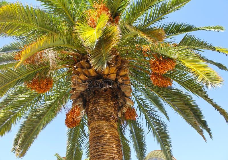 datuje drzewka palmowego zdjęcie stock