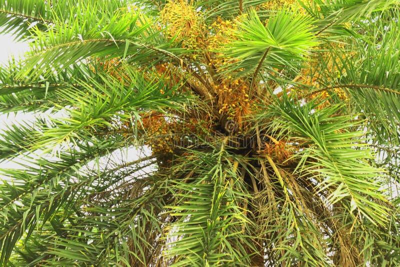 Datum op palm Groene mooi De lange Palm van de Boomstamdatum Data op een palm Dadelpalmtakken met rijpe data Bos van bar stock afbeelding
