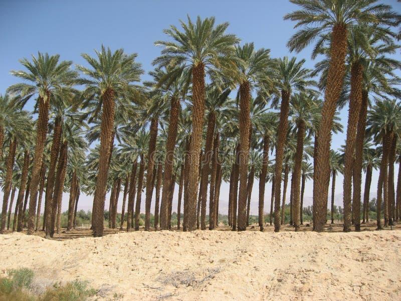 Datumboomgaard in zand dichtbij het Dode Overzees in Israël royalty-vrije stock foto's