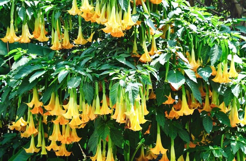 Datura flower royalty free stock photo