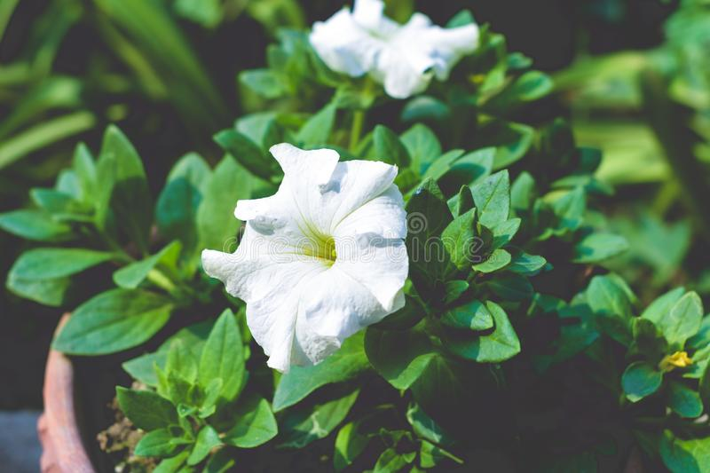 A Datura flower plant derived from the Hindu word. `Dhatura`. They are also called moonflowers, jimsonweed, devil`s weed, hell`s bells, thorn-apple. This royalty free stock images