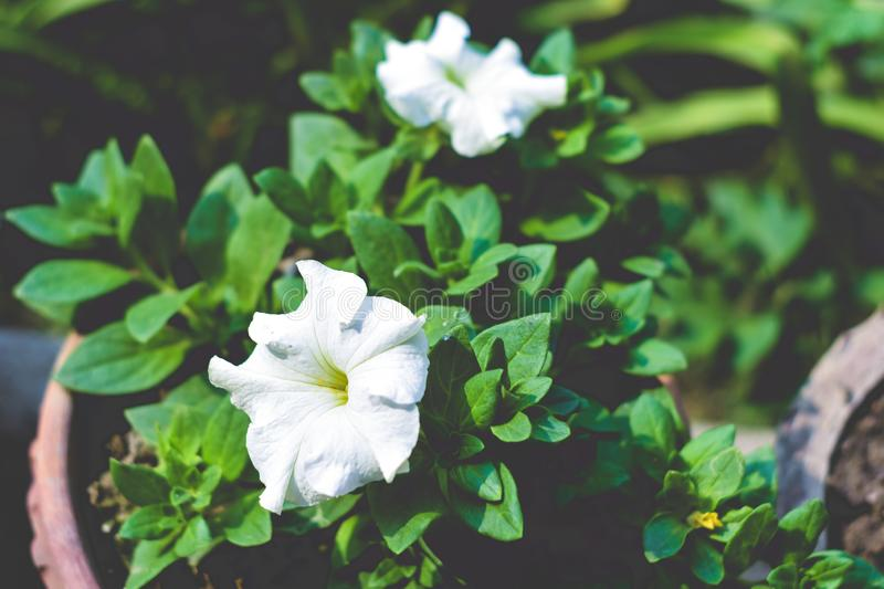 A Datura flower plant derived from the Hindu word. `Dhatura`. They are also called moonflowers, jimsonweed, devil`s weed, hell`s bells, thorn-apple. This stock photography