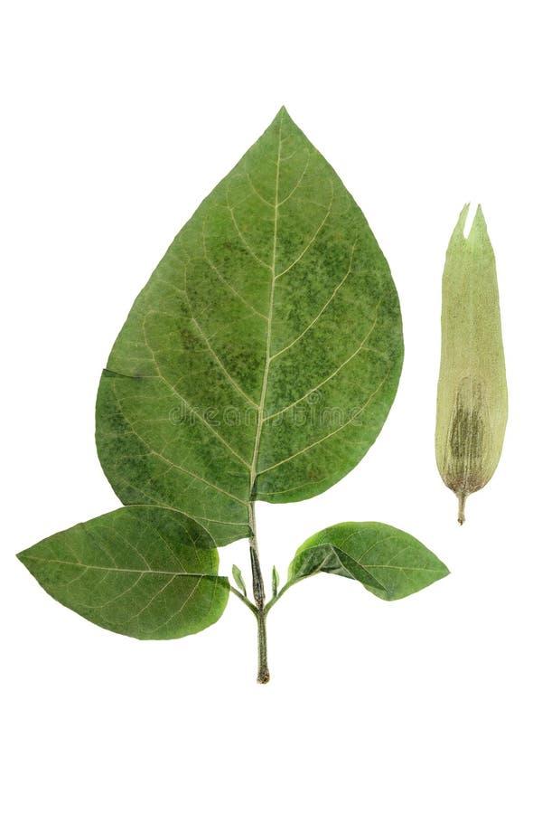 Datura presionada y secada de la flor, aislada en blanco foto de archivo