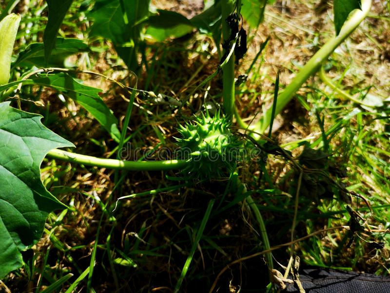 Datura stramonium & x28; jimsonweed, jimson weed or devil& x27;s snare & x29; plante avec poches de graines vertes photos libres de droits