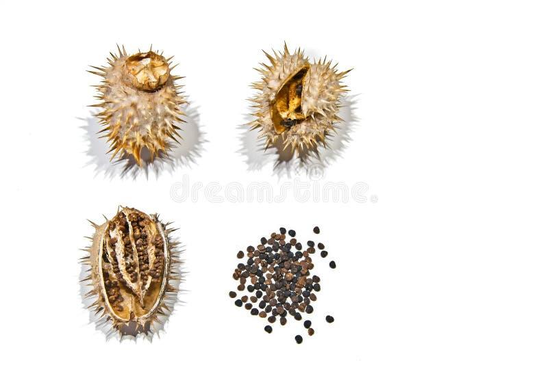 Daturastramonium/jimsonweedseedpod arkivbilder