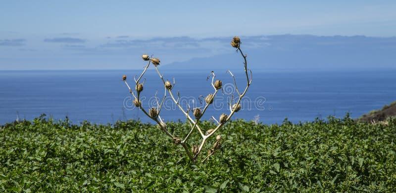 Datury stramonium ziarno boksuje w polu w losie angeles Gomera obraz stock