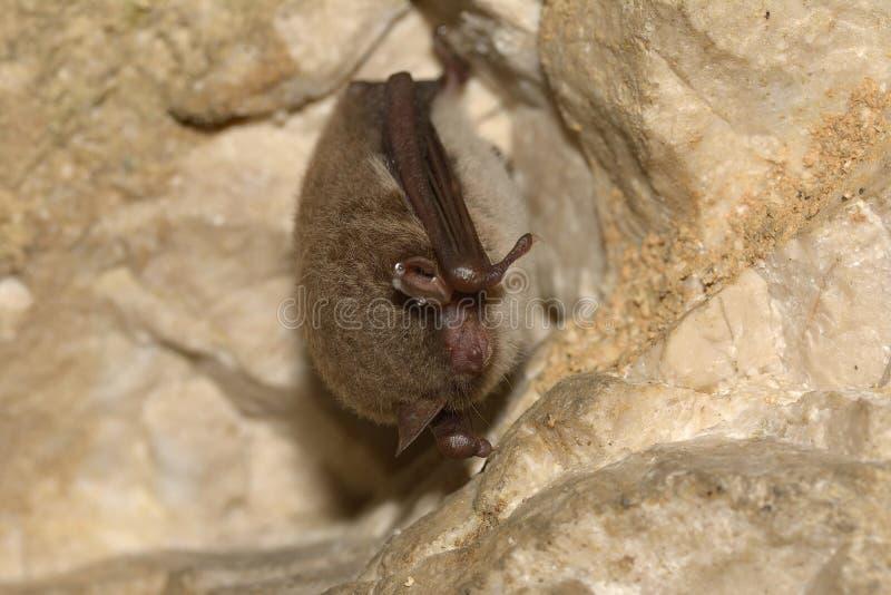 Daubenton`s bat hibernating in a bunker system. Myotis daubentonii. stock photo
