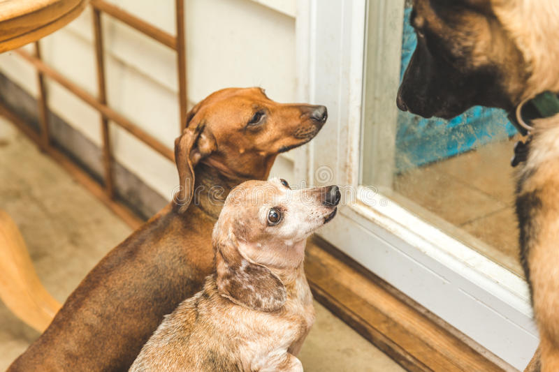 Dauchsund and Shepard Dogs Playing royalty free stock photo